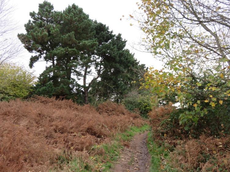 Pine trees along the coast path