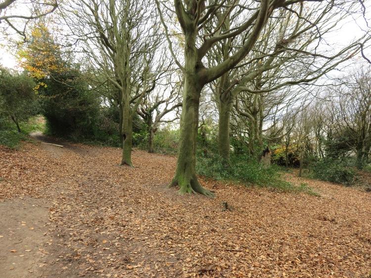 The beech grove on the coast path