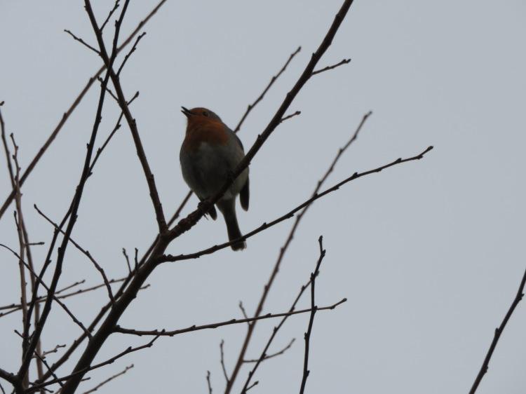 A robin sings at Enginehouse Lane