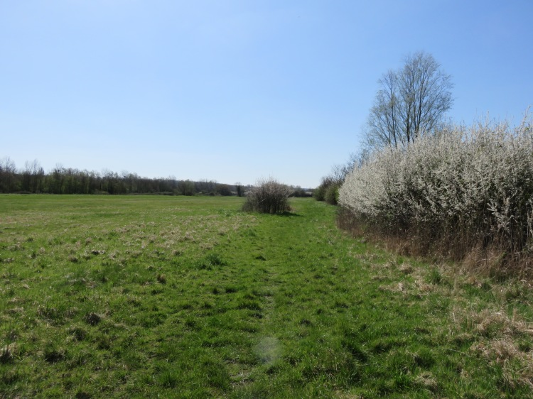 Blackthorn blossom in the long field